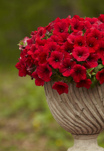 Petunia `Surfinia Deep Red¿  is one of the contestants.