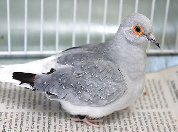 This is just one of the pair of turtle doves up for adoption at The Humane Society.