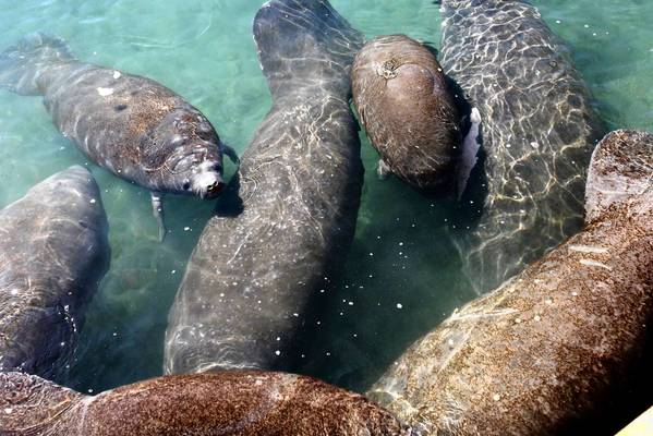 Manatees are endangered and regulations in Florida and at the federal level require spotters to monitor in waterways and watch for manatees that stray too close to work sites.