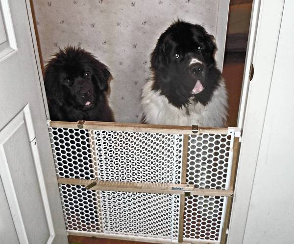 An inexpensive pet gate can keep dogs out of a room containing a litter box.