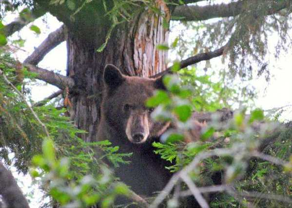 A bear who visited Pomander Place in La Canada Flintridge and climbed a tree on June 20 returned on July 19, knocking over a garbage can before heading off on his own. Pomander Place resident Mark Martinez thinks the bear has found a restful hideaway along the Flint Canyon trail between Hahamongna Watershed Park and town.