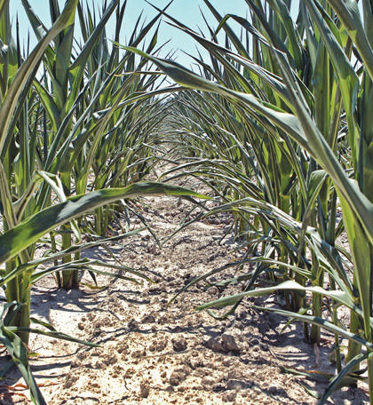 Corn in Belleville, Ill., on June 28, suffers in parched ground as drought conditions threaten the upcoming harvest. Some of the areas hardest hit by the drought are in the corn belt: Indiana, Illinois and parts of Iowa. South Dakota producers are on the brink. MCT Photo