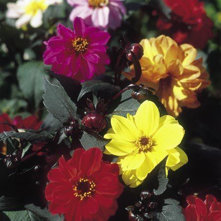 Redskin dahlia seeds produce beautiful blooms as well as handsome foliage; they reseed, too.