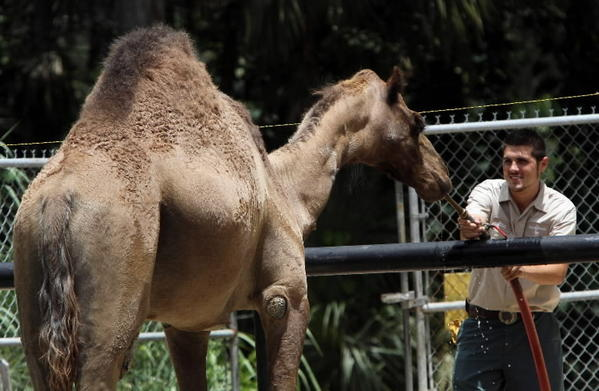 Bahia Shrine's Sir Gus, the camel gets a drink from Ethan Anderson, (Hoof Stock Keeper) at The Central Florida Zoo & Botanical Gardens in Sanford, on Friday, July 20, 2012. The Central Florida Zoo in Sanford is asking Seminole County for $1.5 million to buy adjacent land so that it can build an African safari style of exhibit.