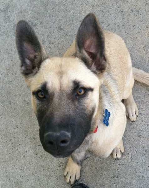 Cookie, a German/ Belgian Shepherd mix, at 9 months. She was killed by a mountain lion.