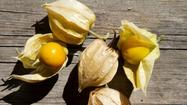Growing the ground cherry, the tomato's sweet-tart cousin