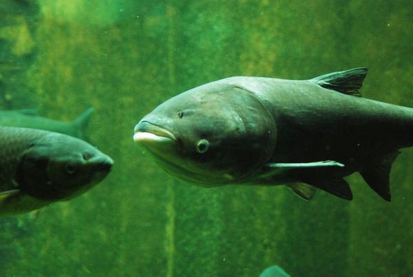 A bighead carp swims in an exhibit at the John Shedd Aquarium in Chicago.