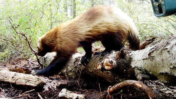Jeff Ford, who spent years tracking Michigan's lone wolverine until it died in 2010, used multiple trail cameras and video setups to capture hundreds of images of the creature. It has been stuffed and is on display at Hartwick Pines State Park through mid-August.