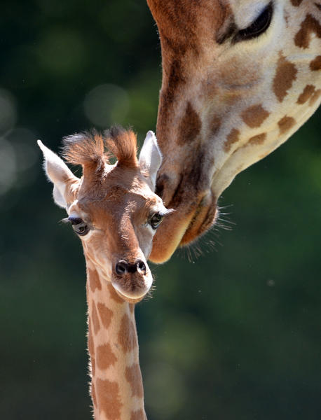 "The baby giraffe ""Dorle"" (L) is nudged by giraffe ""Jule"" at the zoo Friedrichsfelde in Berlin, on July 24, 2012. The calf ""Dorle"" was born on July 2, 2012."