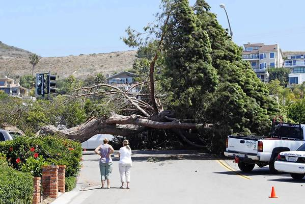Neighbors look at giant Cypress tree that fell across Cliff drive at North Coast Hwy, blocking the street, closing a lane and disrupting traffic at the site. Jamo's Tree service was called in to cut up the tree.