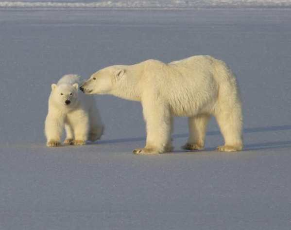 A new polar bear genome study reveals secrets of the animal's evolutionary history.