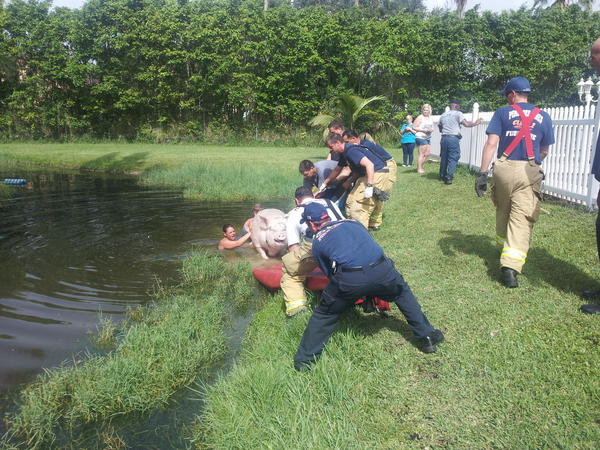 Strawberri, the Yorkshire pig, who won the right to live in Southwest Ranches, was rescued from a pond