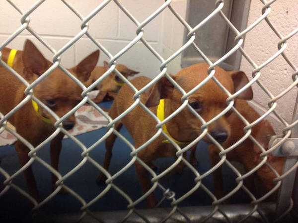 Chihuahuas peer through the fence at the Antietam Humane Society in Waynesboro, Pa. They were among more than 200 that were removed last week from a Pennsylvania home.