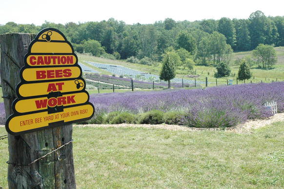 The lavender fields at Lavender Hill Farms near Boyne City are in full bloom. Owner Linda Longworth originally started growing lavender for her hobby as a beekeeper.