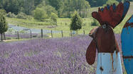 The fields of lavender at Lavender Hill Farms began as food for honeybees.