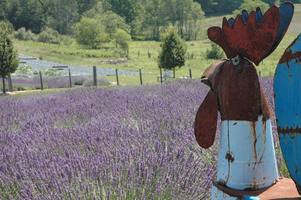 A rooster sculpture keeps watch over Linda Longworth's lavender fields.