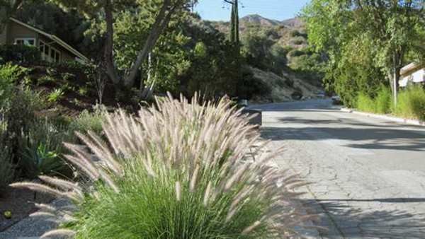 A large clump of fountain grass, foreground, is planted in a residential La Canada yard, near the wilderness interface. The plant can dry out and catch fire 100 times faster than native grasses.