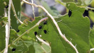 Invasive plant meets its match when weevils come calling