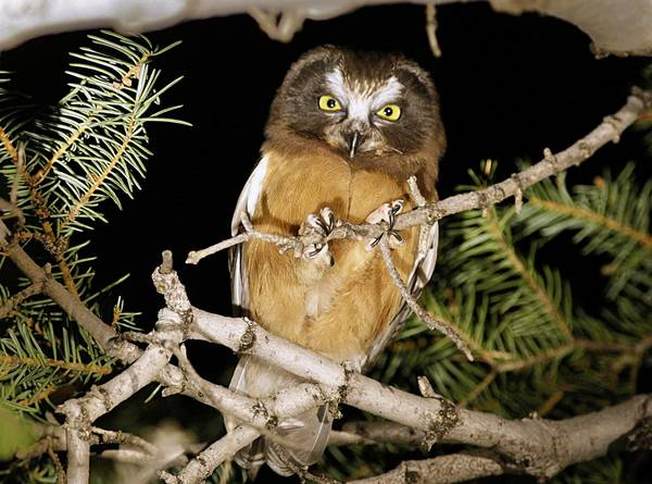 A fledgling saw-whet owl perches on a branch in the Angeles National Forest.
