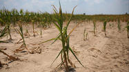 Drought leaves little corn to harvest in Downstate Illinois