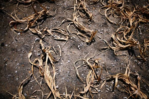 Heat and drought damaged corn in a field near Royalton in Franklin County.