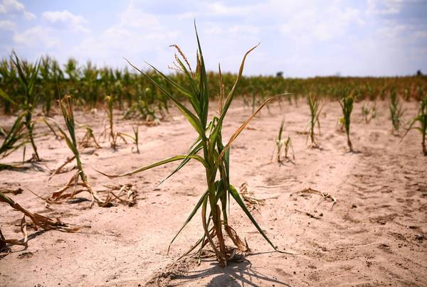 The remains of a field of corn near West Frankfort in Franklin County.