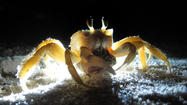 Ghost Crab at Night