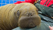 Photo Gallery: Pacific Walrus Calf Taken In By Alaska SeaLife Center