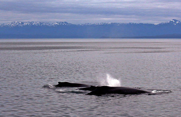 Humpback whales make their way past the landscape of Icy Strait, Alaska.
