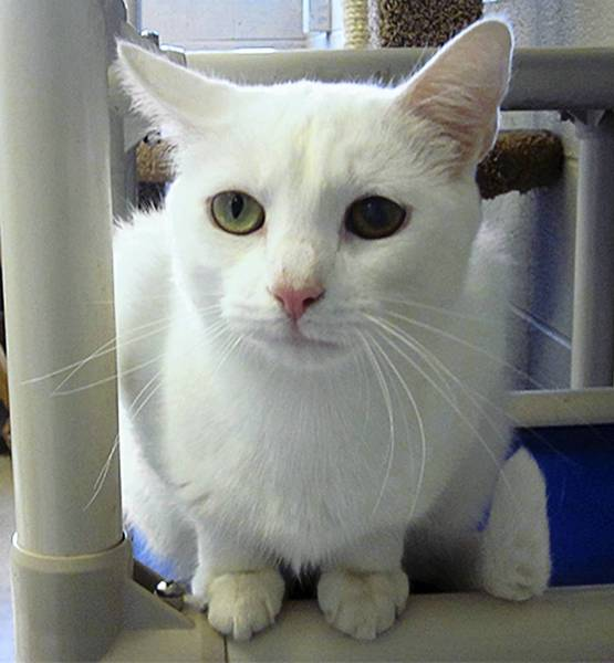 SNOW WHITE: Single white female in search of a loving, colorful life. My sweet gentle nature and love for people and fellow furry friends, makes me live up to my name. My gorgeous eyes and coat make me quite the looker and my heart is open to love. Visit me today!