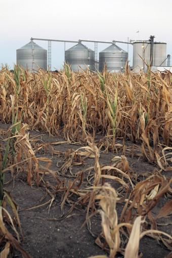 A field of dead corn sits next to the ethanol plant in Palestine, Ill. Making matters worse in light of the drought is the drain of federally-mandated ethanol production on the corn supply.