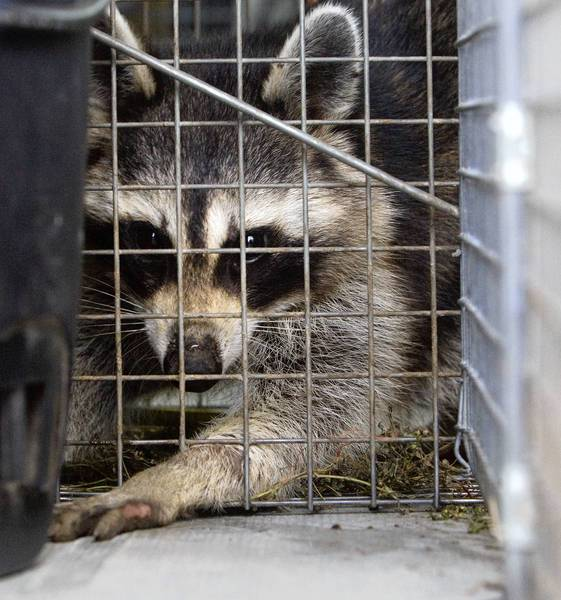 A raccoon looks out the back of a Virginia Wildlife Management van after being picked up in the dumpster area of the Virginia Institute of Marine Science on Friday. Technician Jason Goins said he will take the critter back to the office for an assessment.