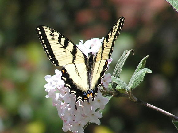A tiger swallowtail sips on the nectar of a viburnum flower.
