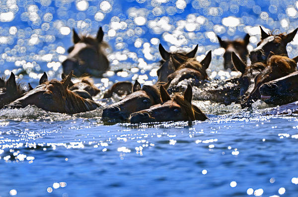 Horses swim during the 87th annual Chincoteague Pony Swim from Assateague Island National Seashore through Assateague Channel to Chincoteague Island.
