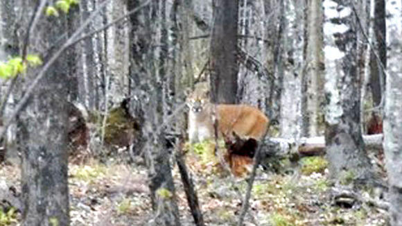 Fred Nault, of Baraga County, is credited with snapping the only confirmed photo of a cougar with a personal camera, not a trail cam, in the Upper Peninsula. He took the picture May 5 near Skanee.