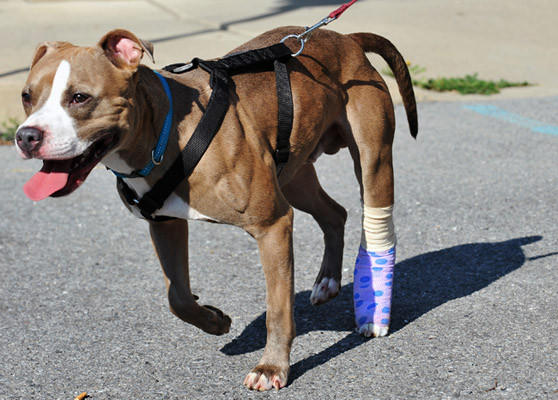 Anchor, a 1 year old blue fawn male pit bull, who was found with a broken leg, abandoned, and chained to a trailer Tuesday morning, walks outside with Andrew Flegler, shelter manager after treatment at Center for Animal Health and Welfare in Easton on Tuesday. Anyone with information about the dog may call Lower Saucon police Cpl. Tim Connell at 610-330-2200.