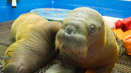 Photo Gallery: Baby Walruses at the Seward SeaLife Center