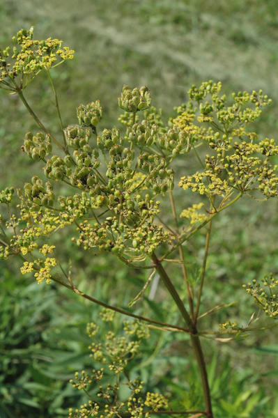 Pictured here is a wild parsnip beginning to produce seeds.
