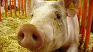 Indiana State Fair to closely monitor hogs for illnesses