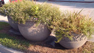 Flowers and flowerpots throughout Danville have been a recent target for vandals.