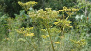 PHOTOS: Wild parsnip