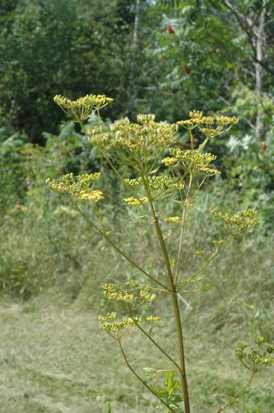 Wild parsnip can by identified by its umbrel, yellow-ish flower heads.