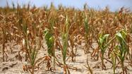 Heat and drought damaged corn near West Frankfort, Il. Wednesday, July 26, 2012.