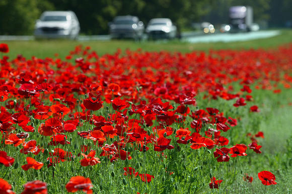 Red poppies are among the wildflowers that continue to thrive along Virginia's highways.