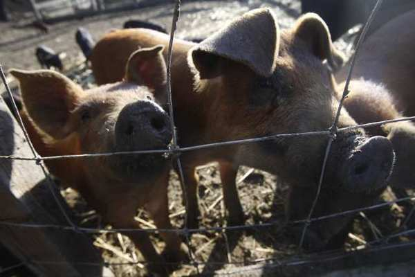 After 12 new swine flu infections in people, the Centers for Disease Control and Prevention is warning fair-goers to take caution around pigs.