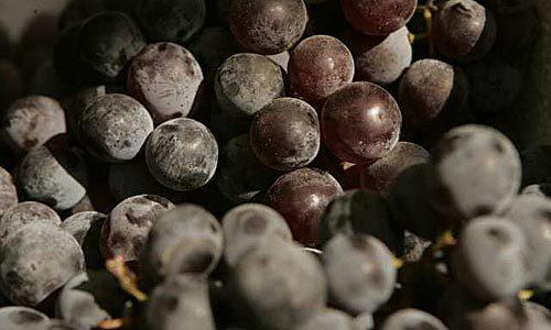 Kyoho grapes are terrific when paired with salty cheeses.