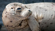 SAN DIEGO -- A young harbor seal rescued at South Mission Beach underwent cataract surgery this week, a procedure that might allow her to be returned to the ocean, SeaWorld San Diego announced Friday.