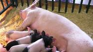 State Fair officials dismissed all animals from the Swine Barn following concerns over swine flu Monday.