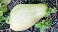 Chayote, a fast-growing fruit