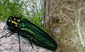 Emerald ash borer is a serious pest throughout Virginia and other states.